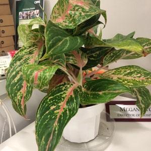 Rare Starfish Snake Plant Sansevieria Air Purifying Plant