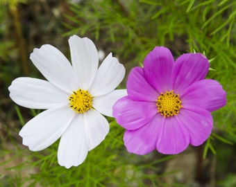Garden cosmos or Mexican cosmos flower seeds from our garden