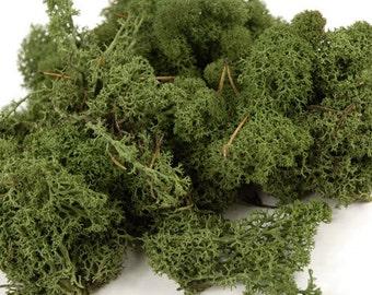 PRESERVED Reindeer Moss Green - 400g