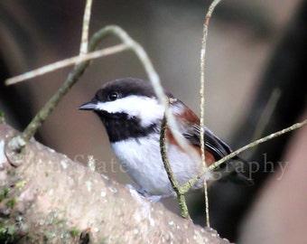 Chickadee Nature Photography Print. Bird Wall Decor. Bird Photography. Bird Photo Print, Framed Photography, or Canvas Print. Home Decor.