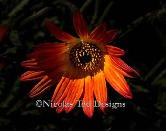 Dramatic lighting - Burnt Orange daisy - macro - nature photo