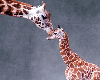 Giraffe and Calf (Art Prints available in multiple sizes)