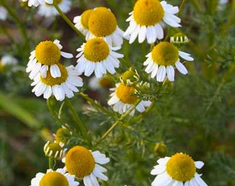 Matricaria Recutita - 5000 Seeds - CHAMOMILE - Medicinal Plant