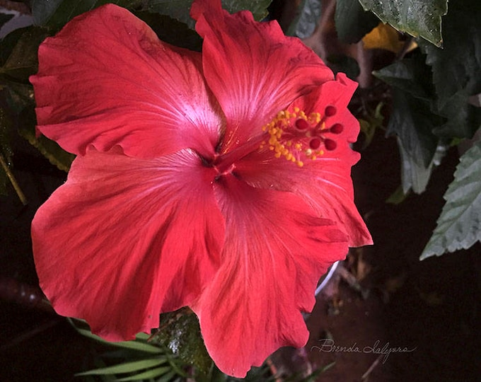 Hibiscus flower, Beautiful Orange Red color, Fine Art Print on Canvas or paper, standard sizes plus custom orders welcome