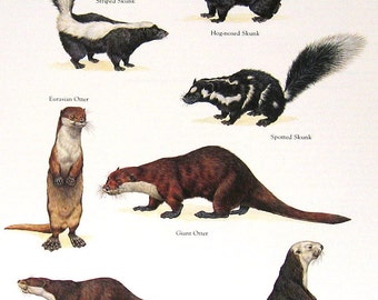 Skunks and Otters Vintage 1984 Animals Book Page - 11 x 9