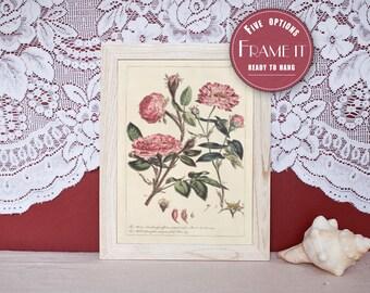 """Vintage illustration of Roses - framed fine art print, flower art, home decor 8""""x10"""" ; 11""""x14"""", FREE SHIPPING - 101"""