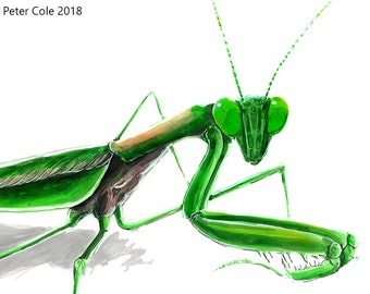Chinese Mantis (Green) - Insect Print