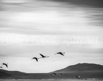 Black and White Flying Flamingos Photography (Immediate Download)
