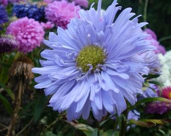Heirloom 600 Seeds Callistephus chinensis China Aster Blue Purple Matsumoto Flower Bulk Seeds B6027