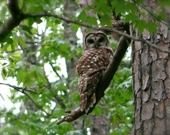 Hoo Are You print, owl, trees, forest