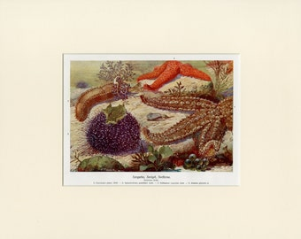Matted Antique Starfish Print Antique C. 1900 Ocean Life Beach Decor Gift Lithograph 11x14""