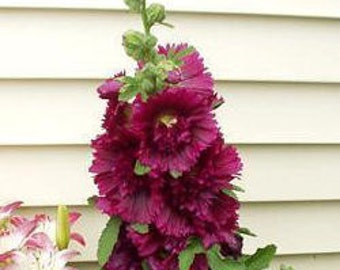 35+ Old Fashioned Giant Maroon Double Hollyhock Flower Seeds / Perennial