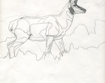 Pronghorn Pencil Study - Original Wildlife Drawing by Darin Miller