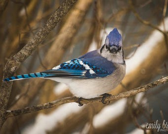 Blue Jay photography print, photography, wall art, bird photography, fine art print, 8x10 print, 5x7 print