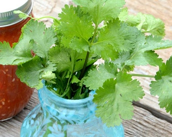 Cilantro Seeds Heirloom Herb Seeds Cilantro Is Great For Salsa Gardens and Pollinator Gardens