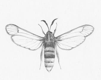 Lunar Hornet Moth_- Original Pencil Drawing, wildlife art
