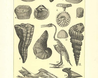 """Digital Download """"Fossils of the Cretaceous"""" Illustration (c.1900s) - Instant Download of Fossils Illustrated Book Page"""
