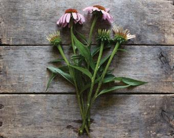 Echinacea, Purple Coneflower, organic seeds, heirloom seeds, medicinal, flower garden, organic garden, herb garden, gardener, herbalist