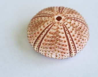 Pink and Red Urchin Test (shell) -  pink and red sea urchin shell with full collecting data - Arbacia lixula