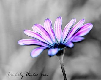 Purple Haze : purple daisy african lavender pink blue flower blossom garden spring monochrome home decor 8x10 11x14 16x20 20x24 24x30