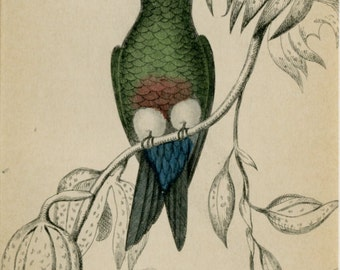 "Early 1800s Matted Bird Print ""Eriopus Cupreiventris Hummingbird"" - Antique Hand Colored Engraving - Christmas Gift Idea"