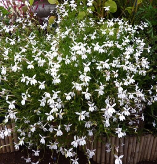 Laurentia axillaris white star flowers seed grow the zoom mightylinksfo
