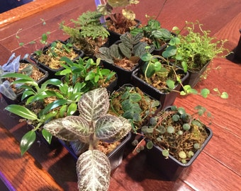 Terrarium/vivarium tropical plant package - grower's choice