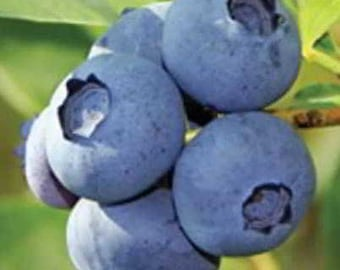 Organic Jersey Blueberry Seeds - Medium-blue fruit so large and juicy, Delicious plump berries