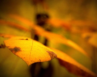 Gold Finger, Tree Photography- Autumn Photography - Fall Colors, Gold, Soft, Dreamy,