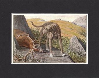 Scottish Deerhound 1919  Vintage Dog Print by Louis Agassiz Fuertes Print Mounted Deerhound Print Scottish Deerhound Picture
