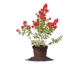 RED ROCKET® CRAPE Myrtle Size: 4-5 ft