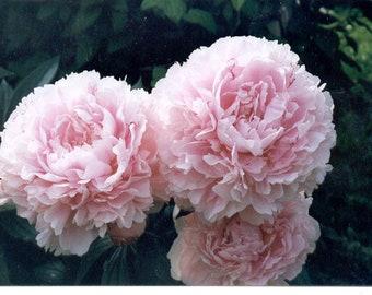 Gigantic Double Fragrant Peony Sarah Bernhardt (3-5 eye root) Peony Root Plant Tuber