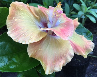 "Hibiscus / Hybrid / Chartreuse Rose / Limited Edition 4"" Pot RT105-D"