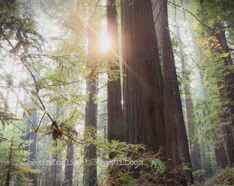 Sunrise Redwoods Photo, Green Tree Forest Photo, California Woodland Photo, Black White Redwood Forest Sunlight, California Sunshine Nature