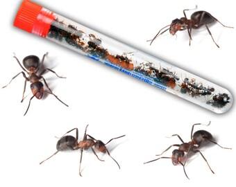 Ant Farm Resupply (30 ants)