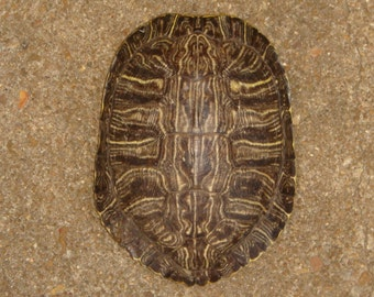 """One 6 1/2"""" - 7"""" Red Eared Slider Turtle Shells"""