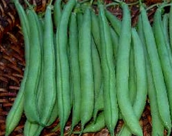 50 Seeds Bean Bush Strike Garden Seeds