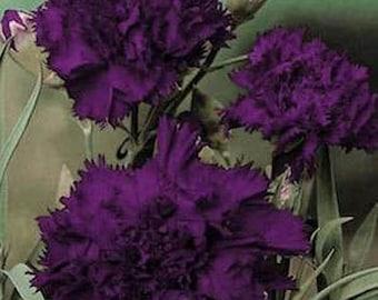 King Of Blacks Carnation Flower Seeds / Grenadin / Perennial  30+
