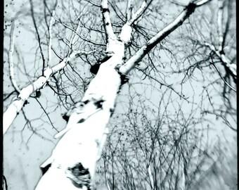 Cyan Tree Photograph--Birch Trees Cyan--TTV Fine Art