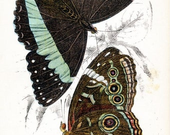 Morpho Achilles butterfly, vintage chromolithograph print reproduction Lloyd's Natural History