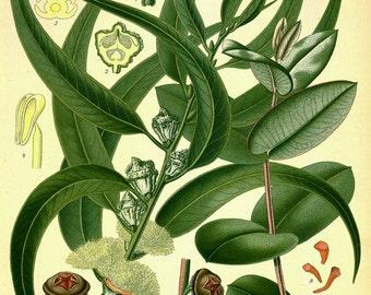 antique french botanical print eucalyptus plant illustration digital download