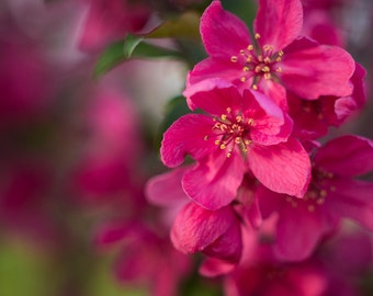 Apple Blossoms - Pink Flowers - Spring Flowers - Fine Art Photo Prints