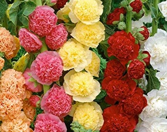 Hollyhock Seeds Fordhook Giant Mix, Variety of Colors, Perennial, Attract Hummingbirds, 10 Seeds