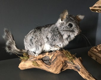 TAXIDERMY CHINCHILLA