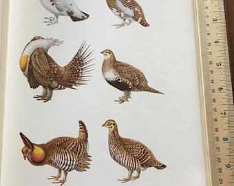 One (1) Vintage Original 1952 Print /Game Birds of North America/Willow Ptarmigan/ Sage Grouse/ Prairie Chicken/ Cabin Decor/Framable Art
