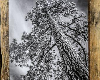 Ponderosa Pine Canvas