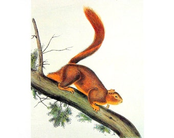 Red Tailed Squirrel - Audubon Animal Print -  1989 Vintage Book Page for Framing  - Naturalist Illustration