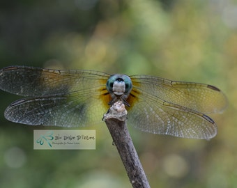 Male Blue Dasher Dragonfly Photography, Dragonfly Photo, Dragonfly Picture,  Nature Picture