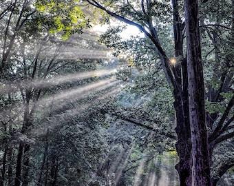 MORNING HAS BROKEN:  Photography | photographic print | japandi | fine art | nature | decor | wall art | trees | forest | sunlight | morning