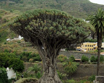 """TreesAgain Potted Dragon """"Blood"""" Tree - Dracaena draco (not seeds) - 8 to 12+ inches (See State Restrictions)"""